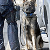 "Found it: State Police K-9 ""Jaxx"" alerts his handler, Trooper Matt Wilson on a vehicle in the parking lot of South Vermillion High School."