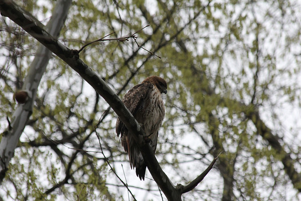 Red Tailed Hawk 2011-04-19