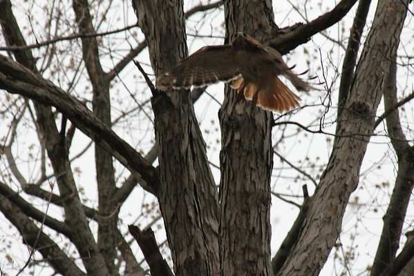 Red Tailed Hawk 2011-04-24