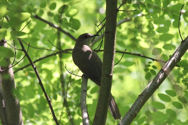 Black Billed Cuckoo 2011-06-05