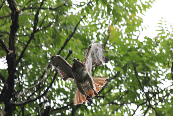 Red Tailed Hawk 2011-06-07