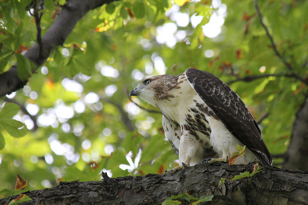 Red Tailed Hawk 2011-08-31