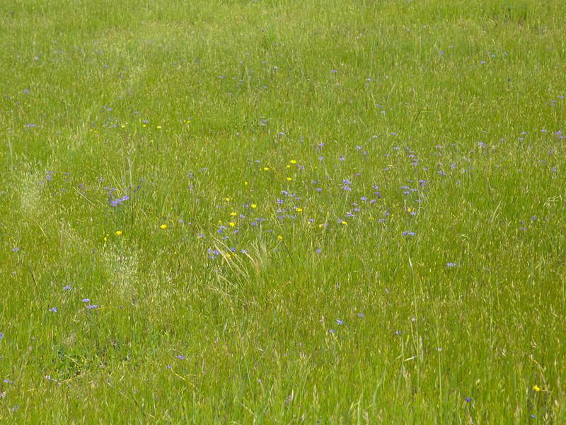 Buttercups and blue-eyed grass