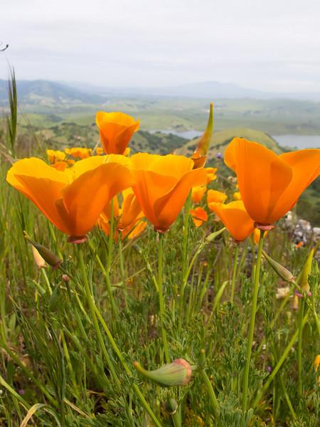 Poppies and San Antonio reservoir