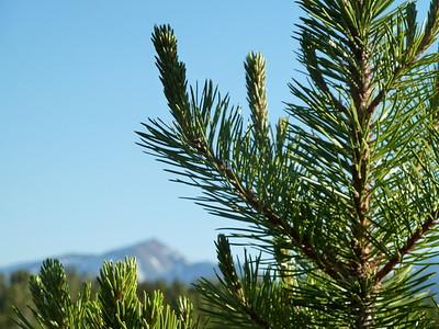 Pine and Elbert