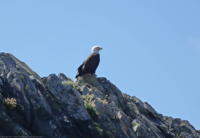 One of many bald eagles seen on this trip.