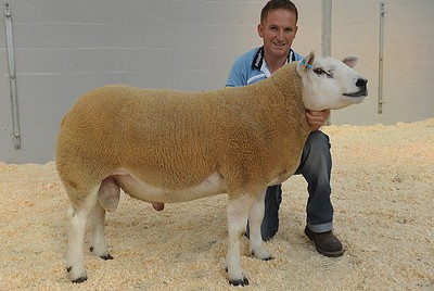 Joint sale topper, joint highest priced Shearling Ram - Caereinion Rocky, PEC1000003 - sold for 4200gns