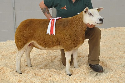Rascarrel, MTR1000036 - First prize Searling Ewe & Female Champion, sold for 1800gns