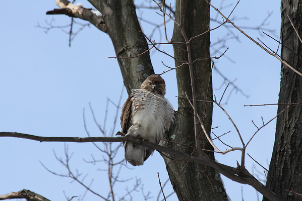 Red Tailed Hawk 2011-01-08