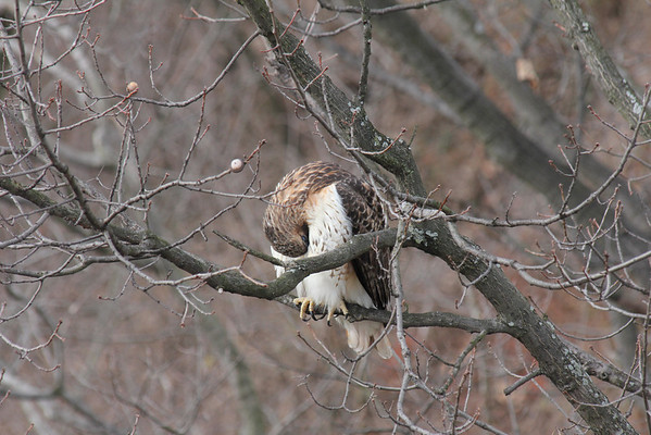 Red Tailed Hawk 2011-02-20
