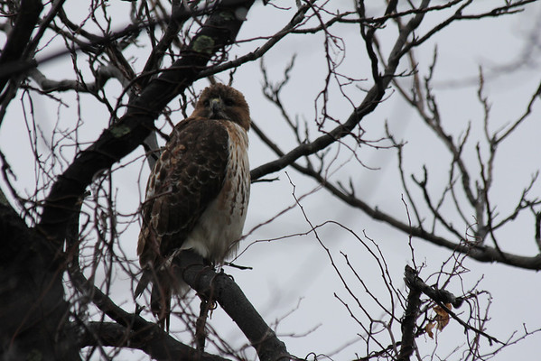 Red Tailed Hawk 2011-03-05