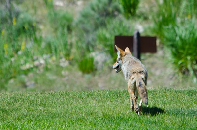 Coyote that we saw at Mammoth.