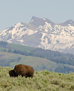 Bison and mountains at the end of the valley.