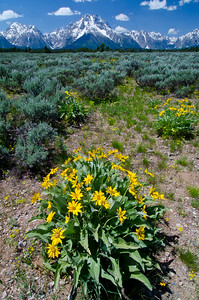 Mt. Moran and ArrowHead Balsamroot.