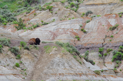 Bison in the badlands at Roosevelt National Park.