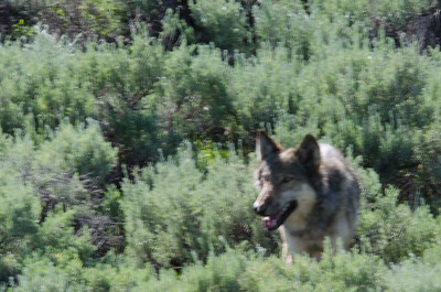 Wolf that we saw by the road.  It was soon chased by a coyote.  Must have had some pups nearby.