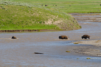 Bison swimming across the river in the Lamar Valley.