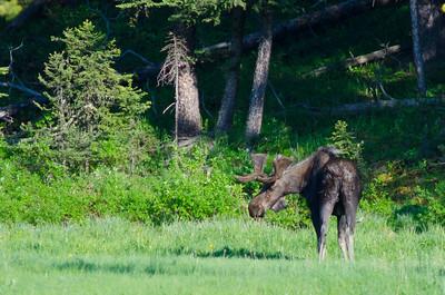 Moose mooning us.
