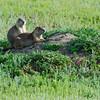 Prairie dogs.