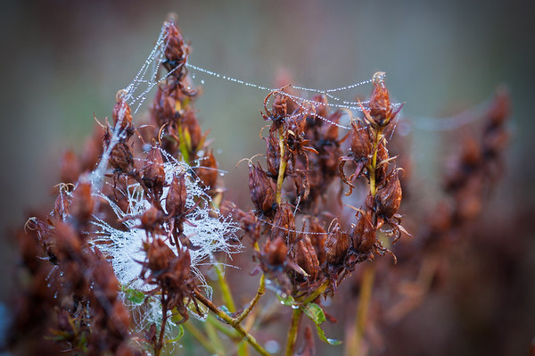 While Willie and Will were taking photos of a tree glowing with the rising sun (and Half Dome) I decided to pull out the macro lens and take some macro's of some of the foliage in Cook's Meadow. I really liked the dew drops on the spider webs here!