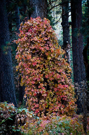 This tree stump had a really pretty autumn vine growing all over it but it wasn't very good to take photos of