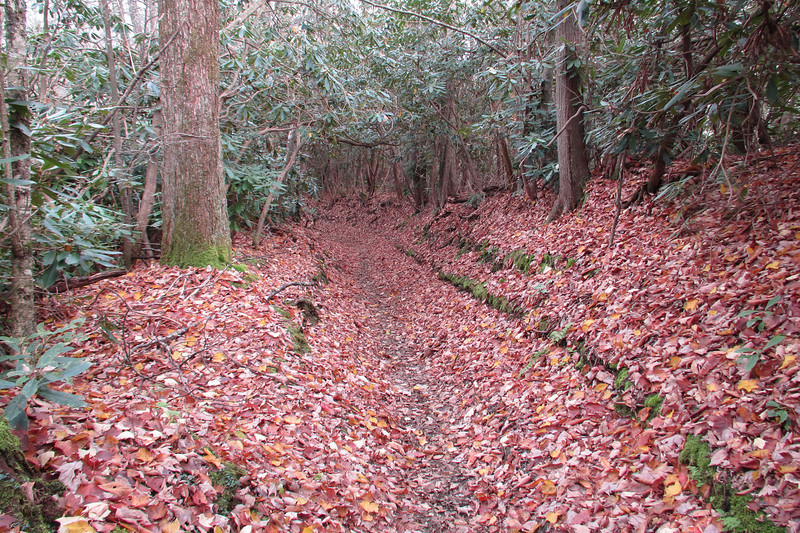 The beginning of a long Rhododendron tunnel.