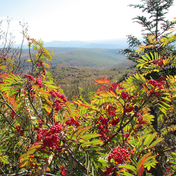The gorgeous red berries of the Mountain Ash were everywhere!!