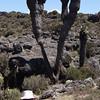 0407_Senecio Kilimanjaro and Bob
