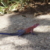 1208_flat-headed rock agama lizard