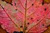 Autumn Leaf-10-01-03