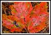 Autumn Leaf-10-01-01cr