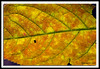 Autumn Leaf at Bellamy River Wildlife Management Area