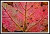 Autumn Leaf-10-01-03cr