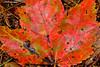 Autumn Leaf-10-01-01