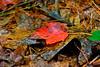 Autumn Leaf-10-01-04a