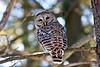 Barred Owl at Bellamy River Wildlife Sanctuary