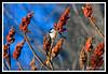 Black-Capped Chickadee-02-09-02cr