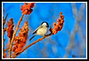 Black-Capped Chickadee at Great Bay National Wildlife Refuge
