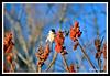 Black-Capped Chickadee-02-09-03cr