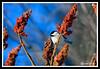 Black-Capped Chickadee-02-09-02acr