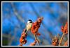 Black-Capped Chickadee-02-09-01acr