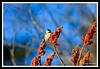 Black-Capped Chickadee-02-09-01cr