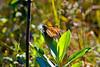Monarch Butterfly-08-09-04