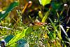 Monarch Butterfly-08-09-01