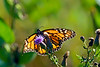 Monarch Butterfly-08-09-02