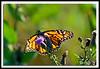 Monarch Butterfly-08-09-02cr
