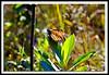 Monarch Butterfly-08-09-03cr