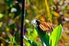 Monarch Butterfly-08-09-04a