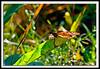 Monarch Butterfly-08-09-01acr