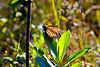 Monarch Butterfly-08-09-03